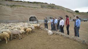 4 koyun ile başladı, 800 koyunu oldu