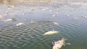 Sultan Sazlığı'nda korkutan balık ölümleri