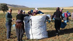 Kayseri'de patates hasadı başladı