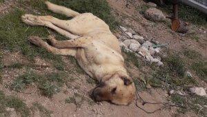 Çoban köpeklerinin eş zamanlı zehirlendiği iddiası
