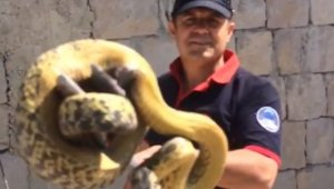 Duvardaki 3 metrelik dev yılan böyle yakalandı