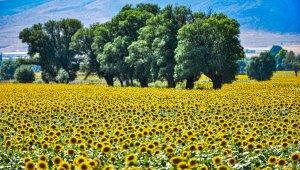 Sarısı gün ışığıyla buluşan ayçiçeği tarlaları görenleri büyülüyor